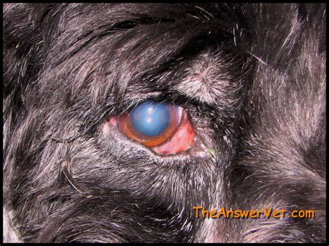 puppy eye infection pin canine cherry eye on