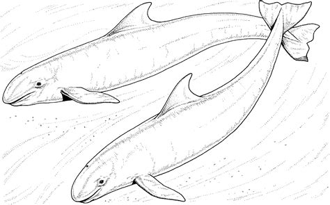 Free Dolphin Coloring Pages Groupings Of Animals