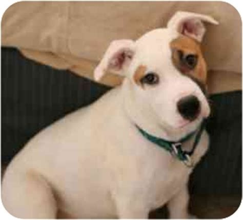 pitbull heeler mix puppy potter adopted college station tx pit bull terrier blue heeler mix