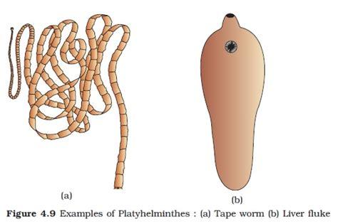 Diagram Of Tapeworm Liver Fluke Earthworm Hydra With Labelling 10092557 Meritnation Ncert Class Xi Biology Chapter 4 Animal Kingdom Aglasem Schools