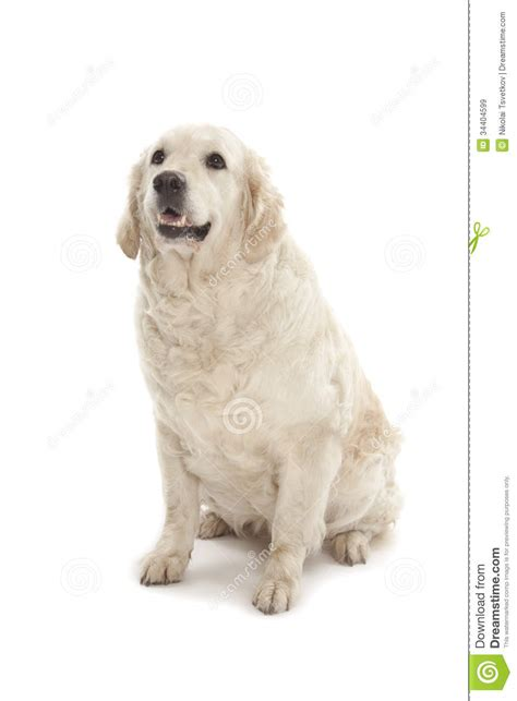 golden retriever loyalty golden retriever stock image image of lying loyalty