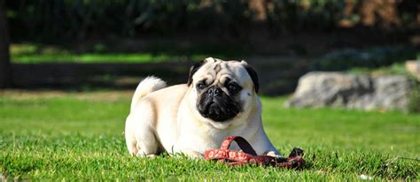 pug things top 10 things to before getting a pug pugbase