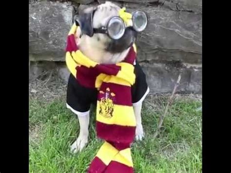 pug harry potter harry potter pug pugsly