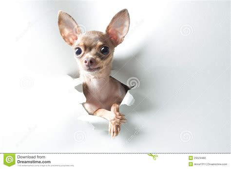 funny small funny small dog with big eyes and ears stock photo image