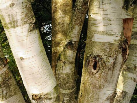 Birkenholz Verbrennen by Birkenb 228 Ume Die Birken Arten
