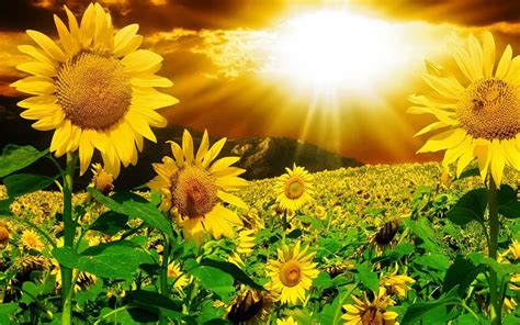 hd sunflower wallpaper wallpapersafari