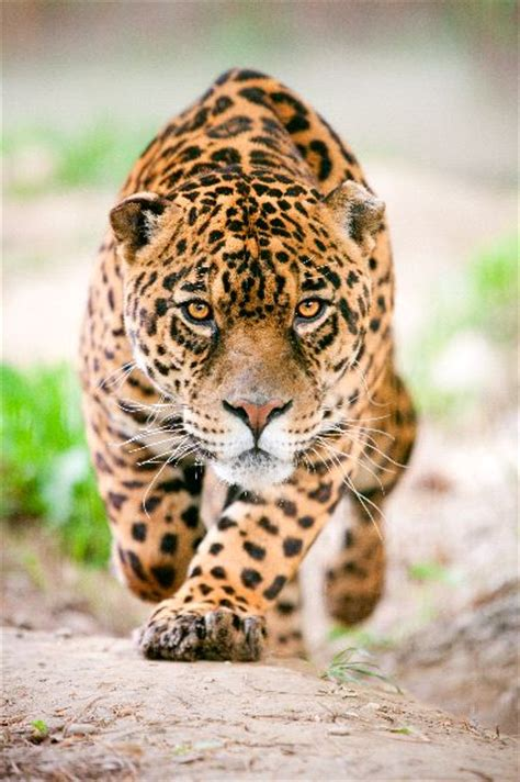 google imagenes de jaguares male jaguar preparing to attack feline facts and information