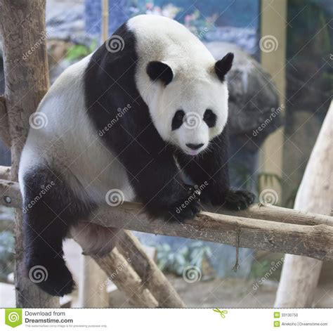 Bears Smile smiling panda