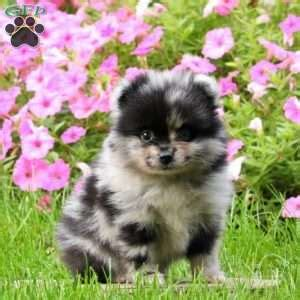 pomeranian puppies for sale in lancaster pa pomeranian puppies for sale in de md ny nj philly dc and baltimore
