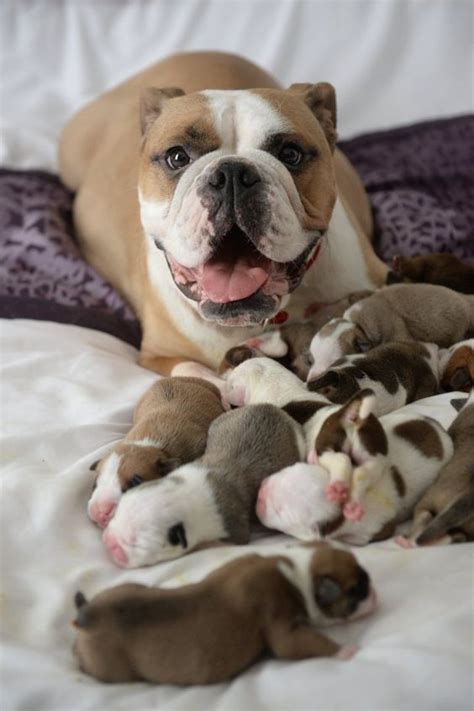 Bulldog and Her Litter Of Puppies   LuvBat