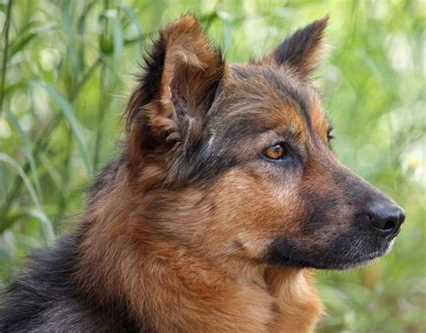How To Deal With German Shepherd Shedding by 17 Best Ideas About German Shepherd Rescue On