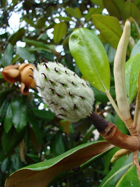 plant profile southern magnolia magnolia grandiflora