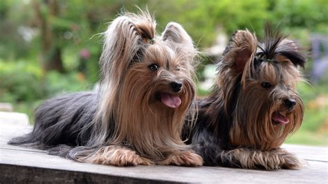 yorkie shortcuts shortcuts for yorkies hairstylegalleries com