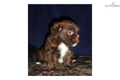 shih tzu yorkie mix expectancy this is he is a shih tzu yorkie breeds picture