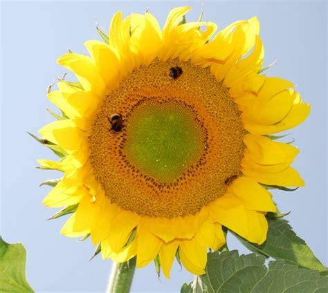 fiore di girasole fiore di girasole fare di una mosca