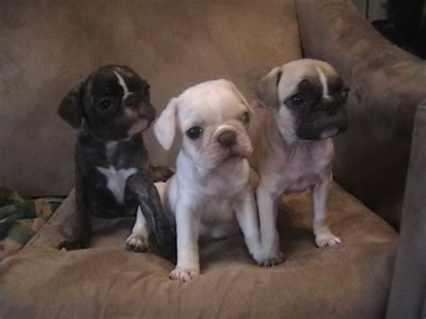 pugs for sale in buffalo ny puggle bulldog puppies for sale breeds picture