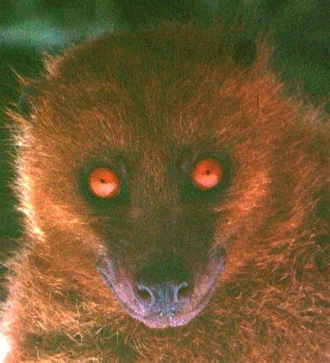 fijian monkey faced bat wikipedia