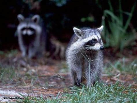 how to deter raccoons
