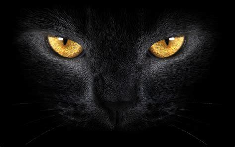 themes black cat fotografia koty zwierzeta pokrakon wykop pl