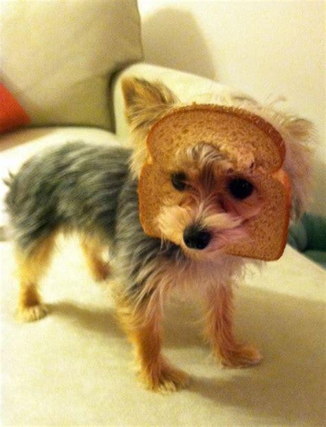 bread yorkie the world s catalog of ideas
