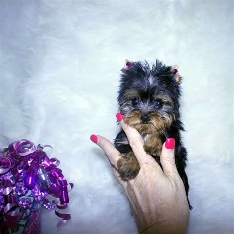 babydoll yorkies for sale yorkies for sale adopt baby doll yorkie puppy tamra