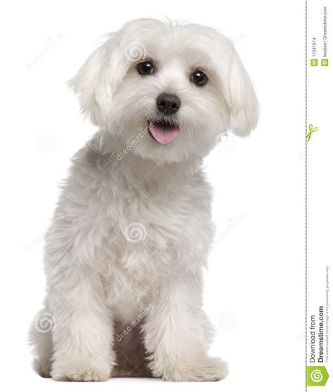 9 month puppy maltese puppy 9 months sitting stock images image 17597914