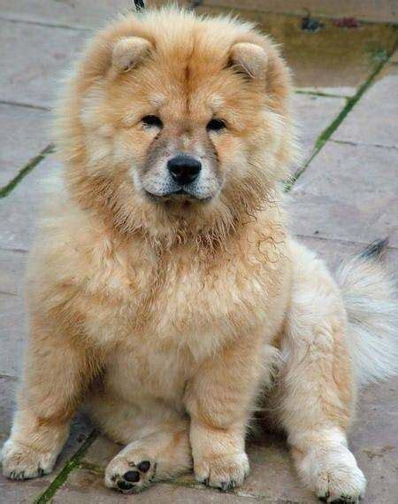 what does pomeranian what does chow pomeranian cross look like