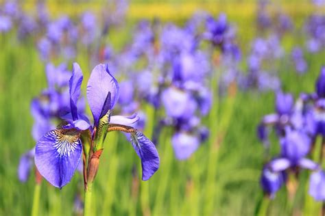 flower pictures free photo flower purple flowers meadow free image