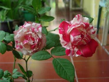 Batik Bunga Cinta 10 mawar macam macam warna bunga mawar