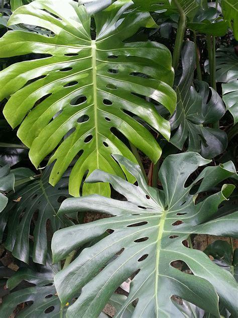 mexican split leaf breadfruit vine monstera deliciosa