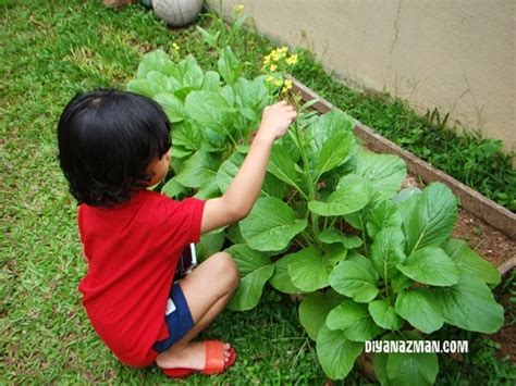 Bibit Sayuran Asparagus benih tanaman pangan tanaman sayur tanaman buah