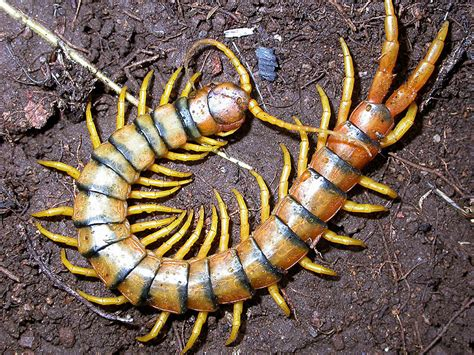 imagenes de animales venenosos centipede info and photos images 2012 the wildlife