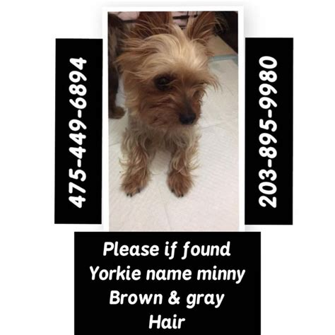 maries yorkies ct oquendo ct lost pets 10 hrs near bridgeport 183 lost around smith st in