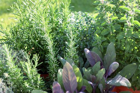 starting  herb garden   plant  herb garden