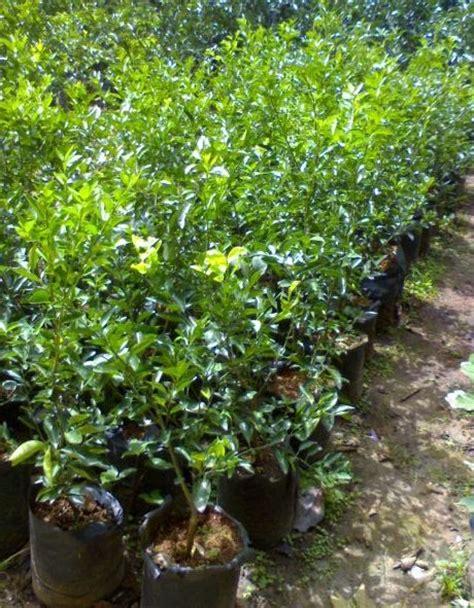 Harga Bibit Jeruk Nipis Cangkokan jual bibit tanaman buah jeruk limo
