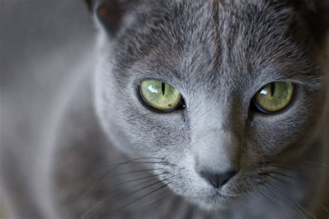 film blue russian russian blue wallpapers images photos pictures backgrounds