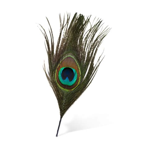 feather tattoo png peacock feather vector png