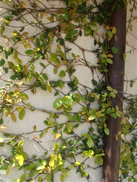 name of climbing plants climbing vines vines
