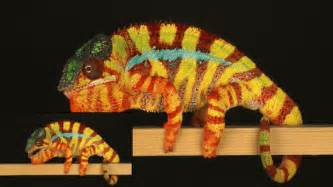 color changing chameleon chameleons change color by tuning tiny crystals in their