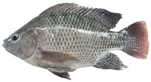 Pakan Ikan Sepat Hias jenis ikan konsumsi air tawar yang sering dibudidayakan