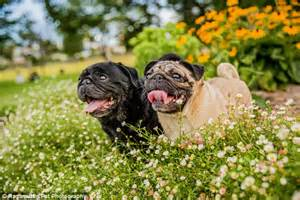 precious pugs rescue and adoption pugs will tie the knot in charity wedding complete with dress and event designers