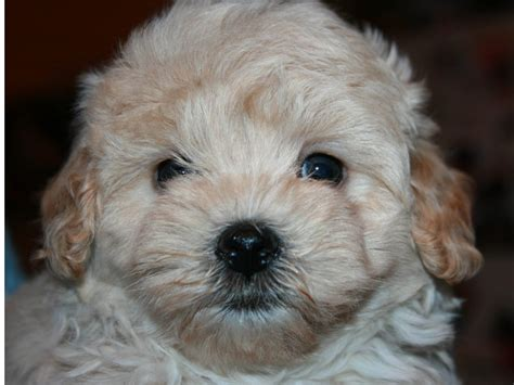 maltipoo puppies rescue maltipoo a cross breed of cuteness and fluffy certapet