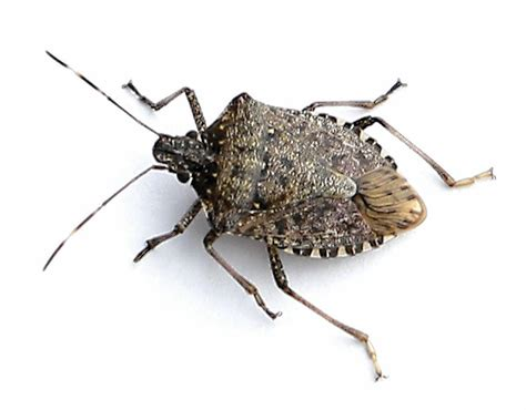 images of a bed bug photo collection pics photos bugs