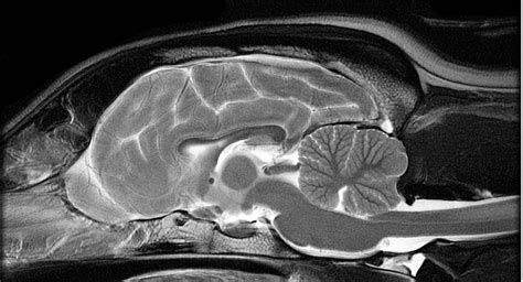 brain tumors in dogs vimago imaging or mri paws advanced imaging