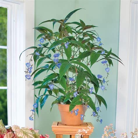 weeping blue ginger dichorisandra pendula