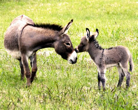 Burro Animal by Donkeys We Re Just So We Must Great Lives