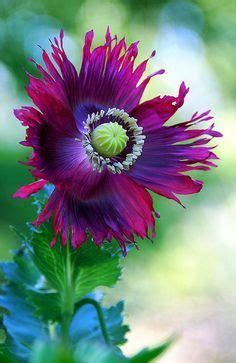 linguaggio dei fiori ciclamino il significato dei fiori il ciclamino nel linguaggio dei