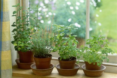 growing an herb garden indoors how to overwinter tender herbs indoors