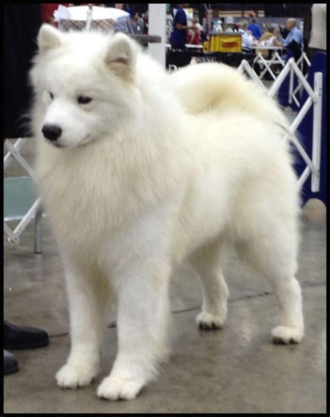 big fluffy dogs best 25 big fluffy dogs ideas on big dogs