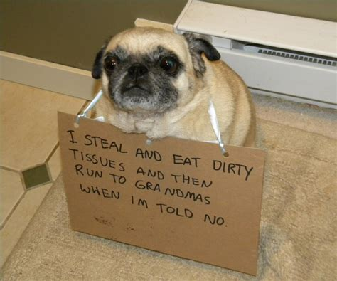 what do pugs like to eat 15 pug shaming pictures of pugs who did the crime and now doing the time